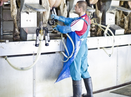 Milking in the parlour